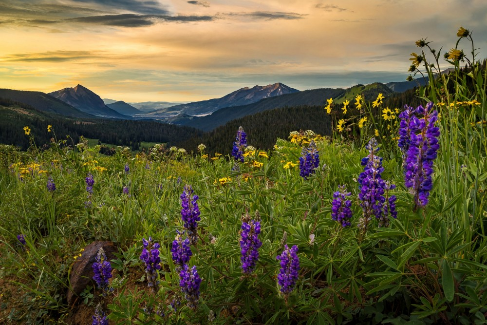 Purple,wildflowers,above,crested,butte,at,sunrise